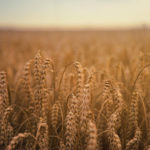 grain in field
